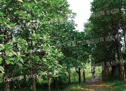野放种植的原生态诺丽基地